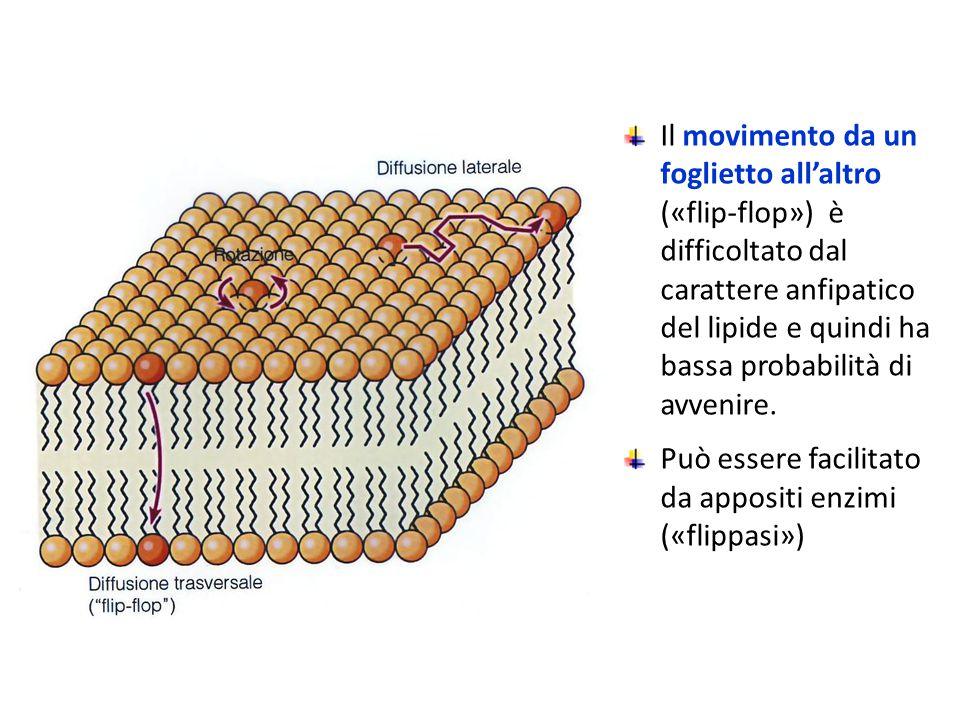Il movimento da un foglietto all'altro («flip-flop») è difficoltato dal carattere anfipatico del lipide e quindi ha bassa probabilità di avvenire. Può