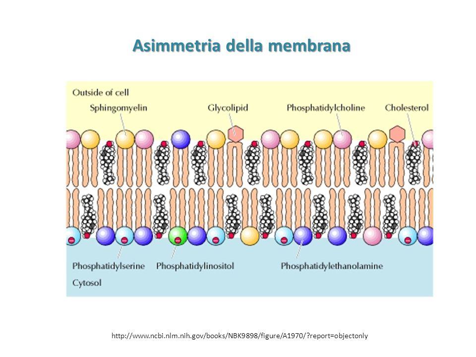 Asimmetria della membrana http://www.ncbi.nlm.nih.gov/books/NBK9898/figure/A1970/?report=objectonly