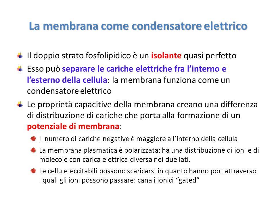 La membrana come condensatore elettrico Il doppio strato fosfolipidico è un isolante quasi perfetto Esso può separare le cariche elettriche fra l'inte