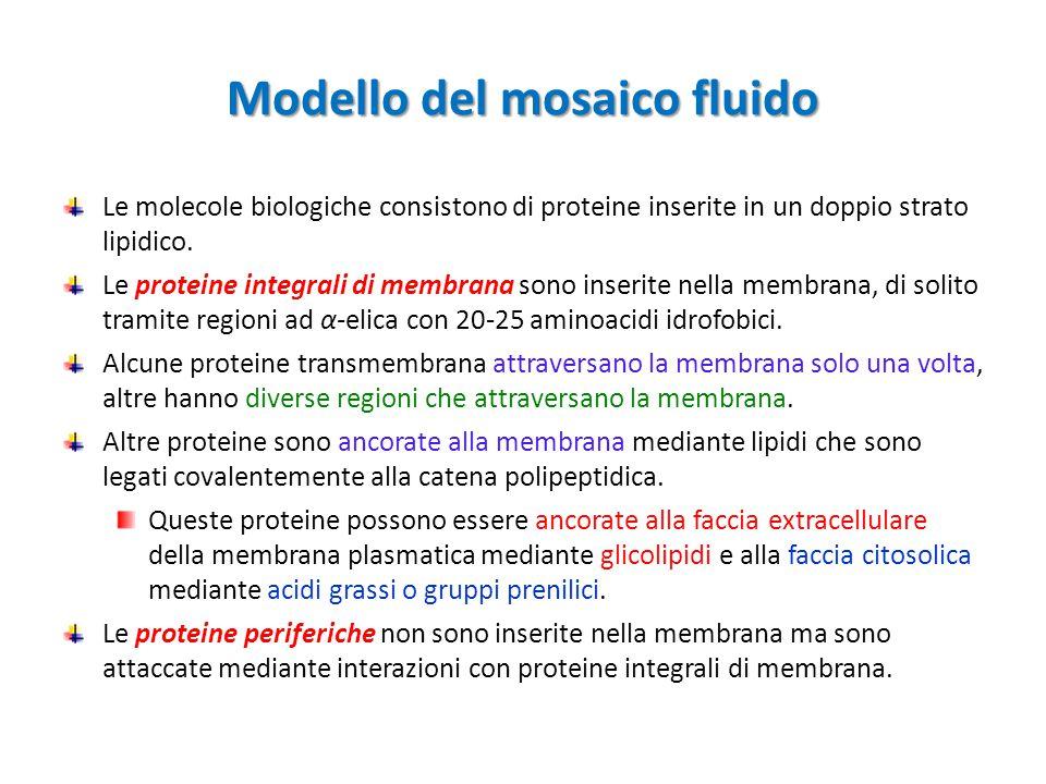 Modello del mosaico fluido Le molecole biologiche consistono di proteine inserite in un doppio strato lipidico. Le proteine integrali di membrana sono