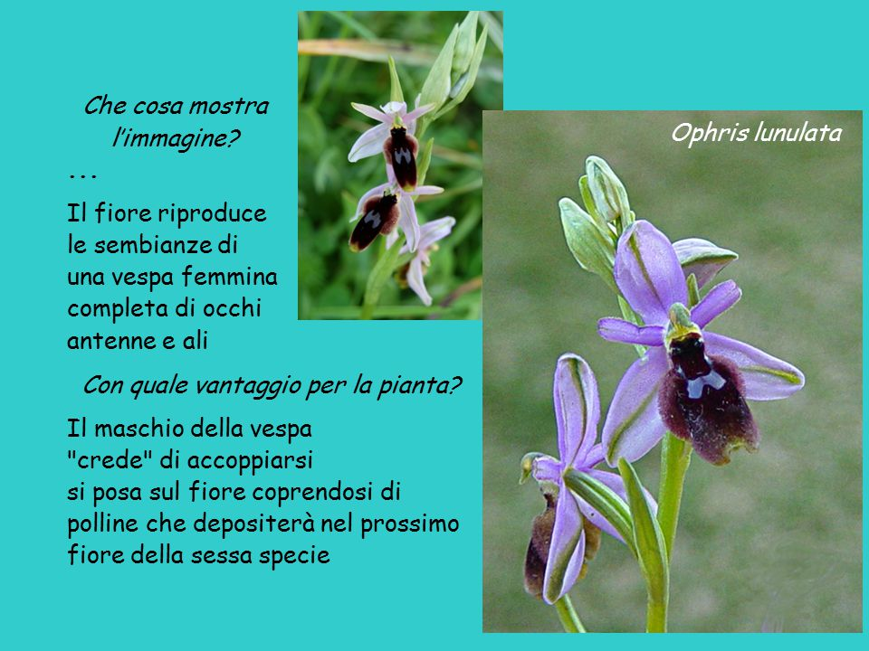 Ophris lunulata Che cosa mostra l'immagine?... Il fiore riproduce le sembianze di una vespa femmina completa di occhi antenne e ali Con quale vantaggi
