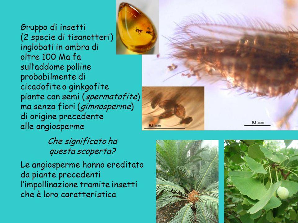 Gruppo di insetti (2 specie di tisanotteri) inglobati in ambra di oltre 100 Ma fa sull'addome polline probabilmente di cicadofite o ginkgofite piante