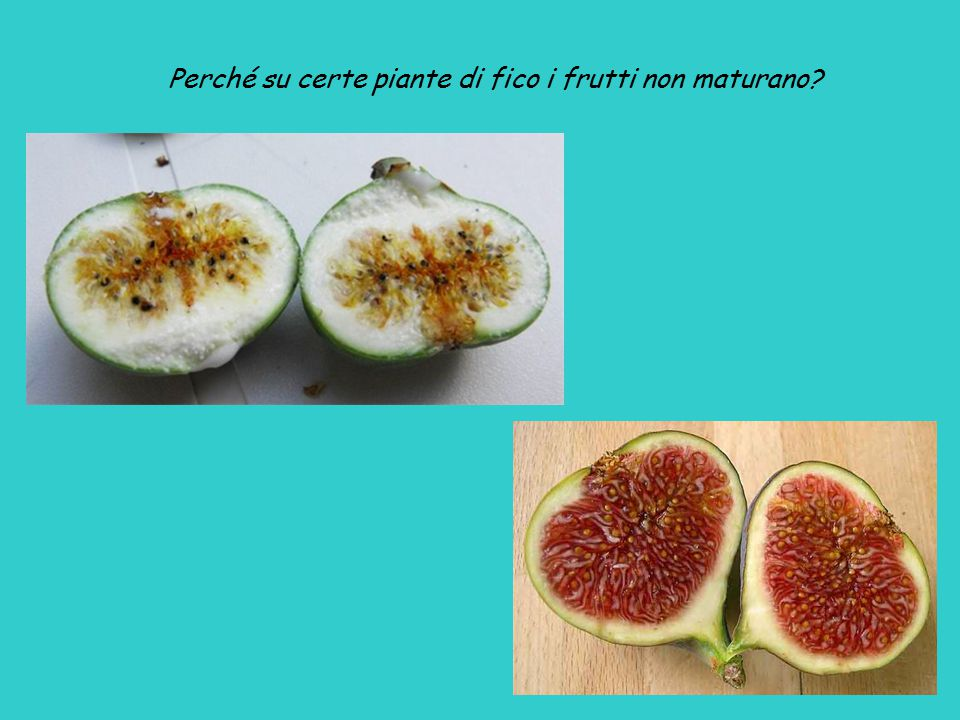 Ficus carica, una moracea Il frutto del fico è in realtà un ricettacolo (siconio) di infiorescenze (insiemi di piccoli fiori) In alcune piante di fico, i caprifichi , i siconi non maturano In altre piante, i fichi veri , le infiorescenze fecondate diventano infruttescenze: maturano i semi che contengono una piccola noce (i granellini che si trovano all interno del frutto) La fecondazione avviene tramite una vespa (famiglia Agaonidae)