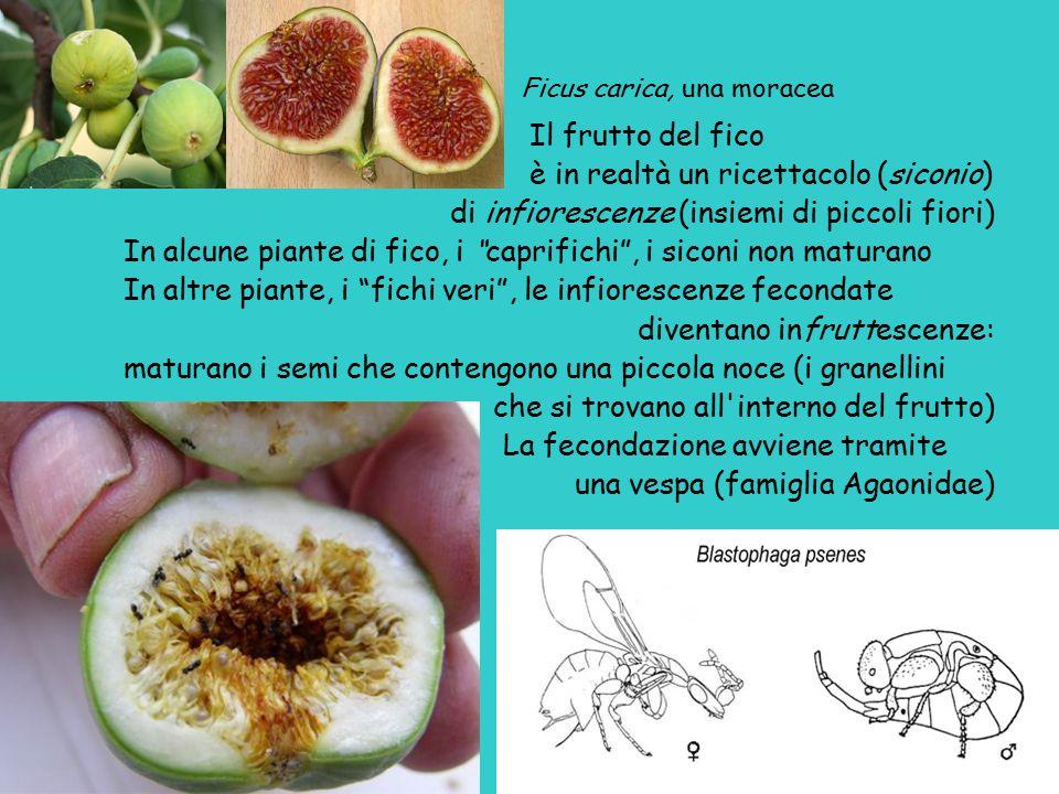 Ficus carica, una moracea Il frutto del fico è in realtà un ricettacolo (siconio) di infiorescenze (insiemi di piccoli fiori) In alcune piante di fico