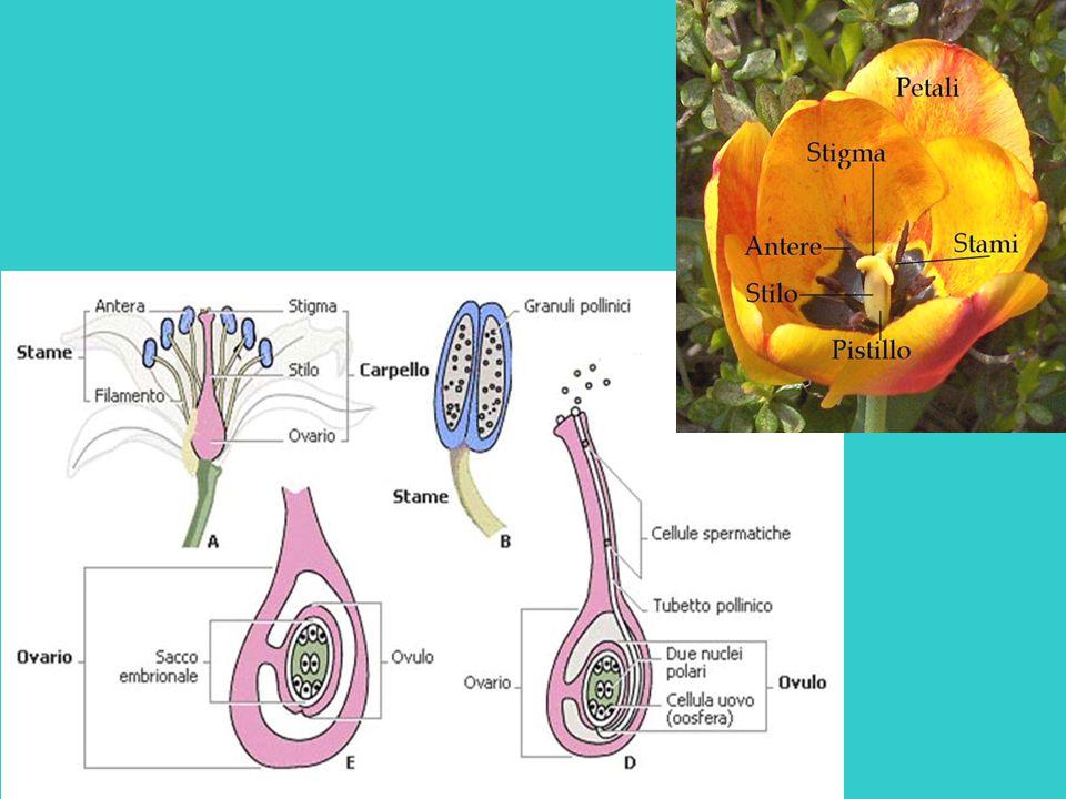 1 Fiori maschili 2 Fiori femminili con stilo breve dove è più facile che l'insetto deponga l'uovo e più difficile è l'impollinazione (= sterili) 3 Fiori femminili con lungo stilo inaccessibili all'insetto più facilmente catturano il polline portato dall'insetto (= fertili)