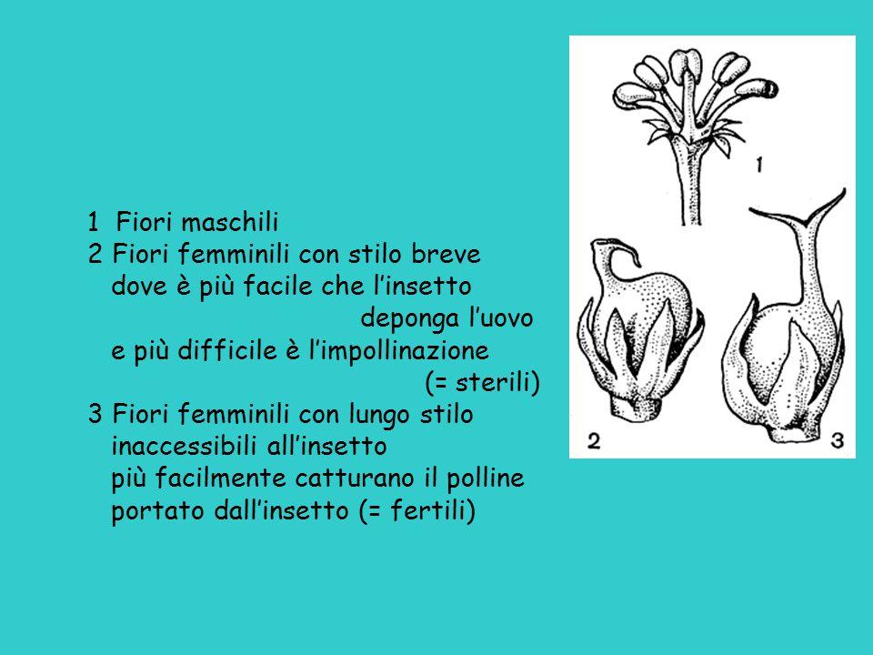 inverno primavera estate Caprifico: d'inverno infiorescenze (MAMME) con fiori femminili sterili in primavera infiorescenze (PROFICHI) con fiori maschili vicino all'apertura, e fiori femminili sterili d'estate infiorescenze (MAMMONI) con fiori maschili, fiori femminili sterili, fiori femminili fertili Fico: in primavera FIORONI con fiori femminili sterili d'estate FICHI con fiori maschili e fiori femminili fertili o sterili a seconda della varietà