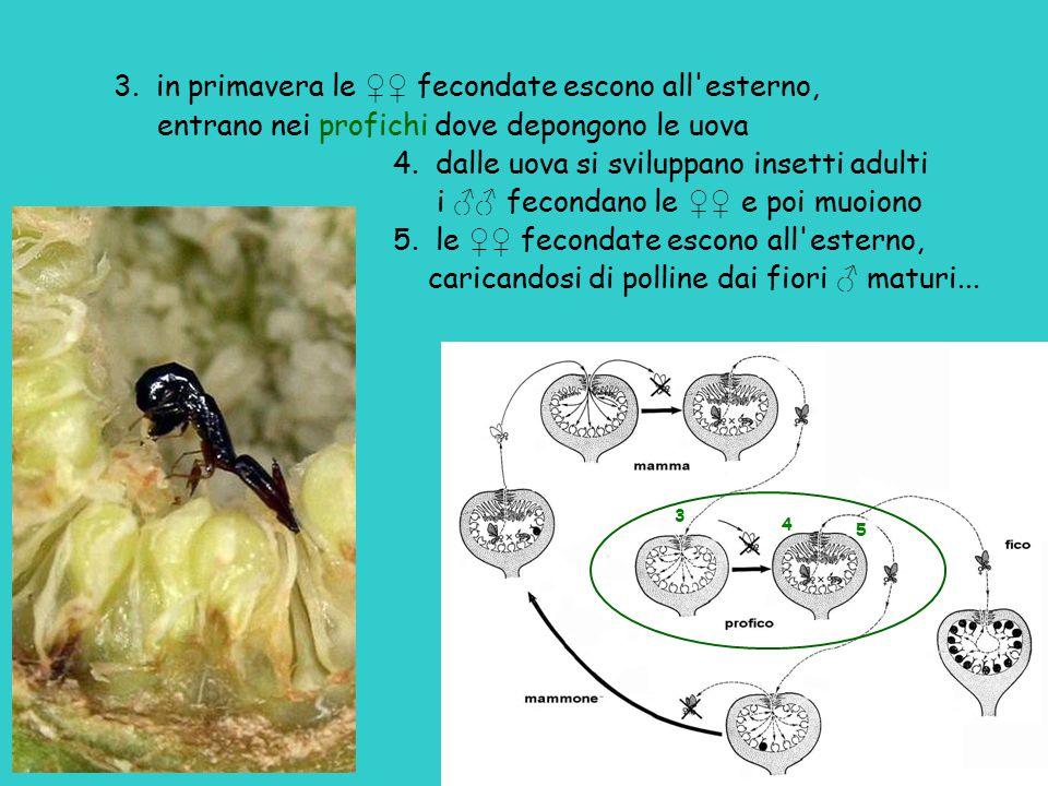 3. in primavera le ♀♀ fecondate escono all'esterno, entrano nei profichi dove depongono le uova 4. dalle uova si sviluppano insetti adulti i ♂♂ fecond