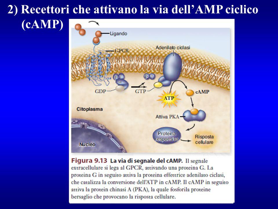 2) Recettori che attivano la via dell'AMP ciclico (cAMP)
