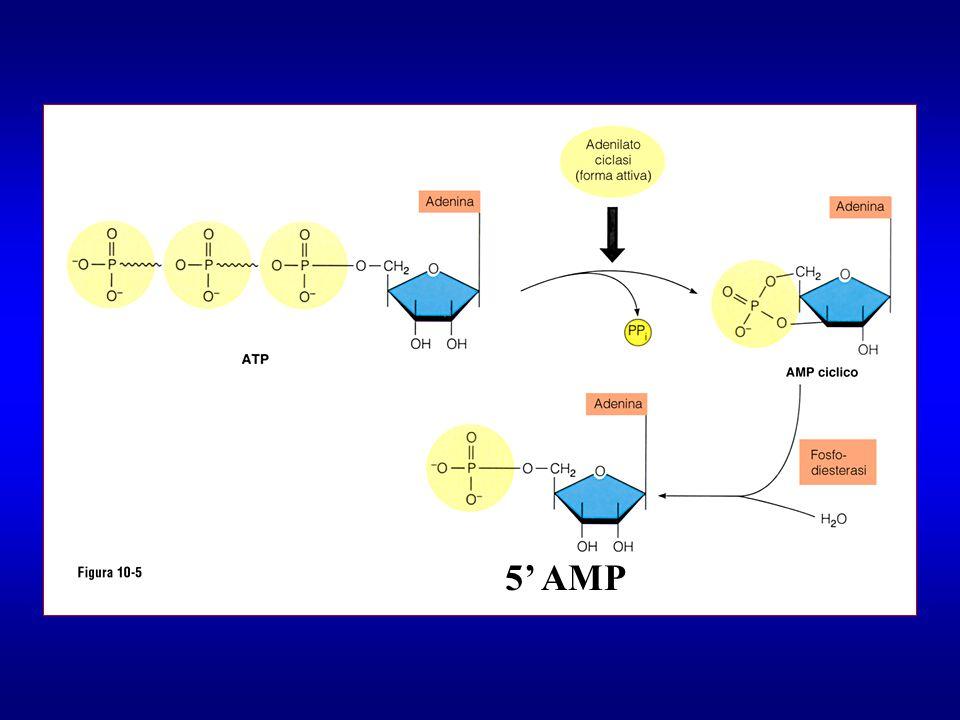 5' AMP