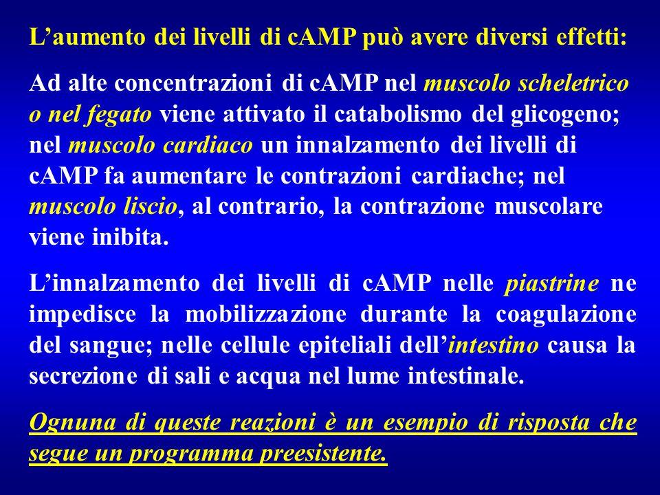L'aumento dei livelli di cAMP può avere diversi effetti: Ad alte concentrazioni di cAMP nel muscolo scheletrico o nel fegato viene attivato il catabol