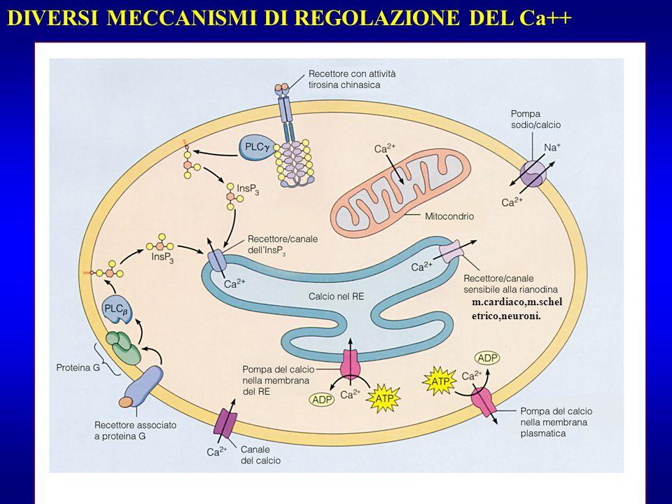 DIVERSI MECCANISMI DI REGOLAZIONE DEL Ca++ m.cardiaco,m.schel etrico,neuroni.