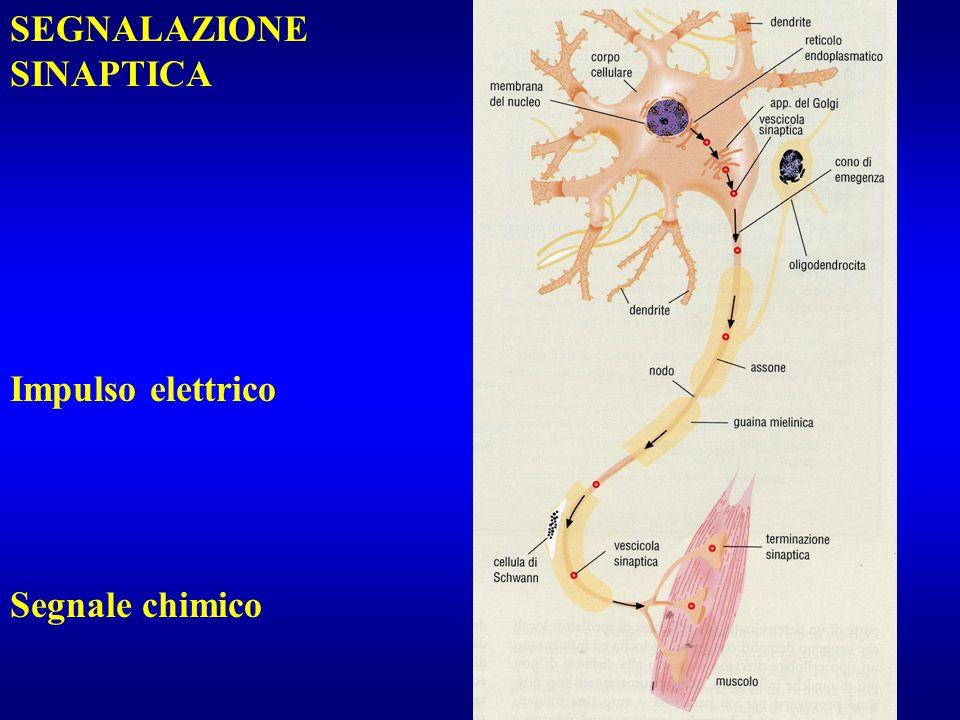 Impulso elettrico Segnale chimico SEGNALAZIONE SINAPTICA
