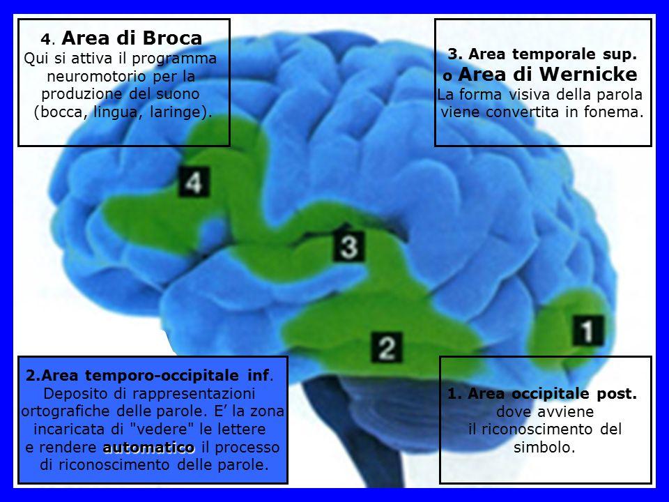 1. Area occipitale post. dove avviene il riconoscimento del simbolo. 3. Area temporale sup. o Area di Wernicke La forma visiva della parola viene conv