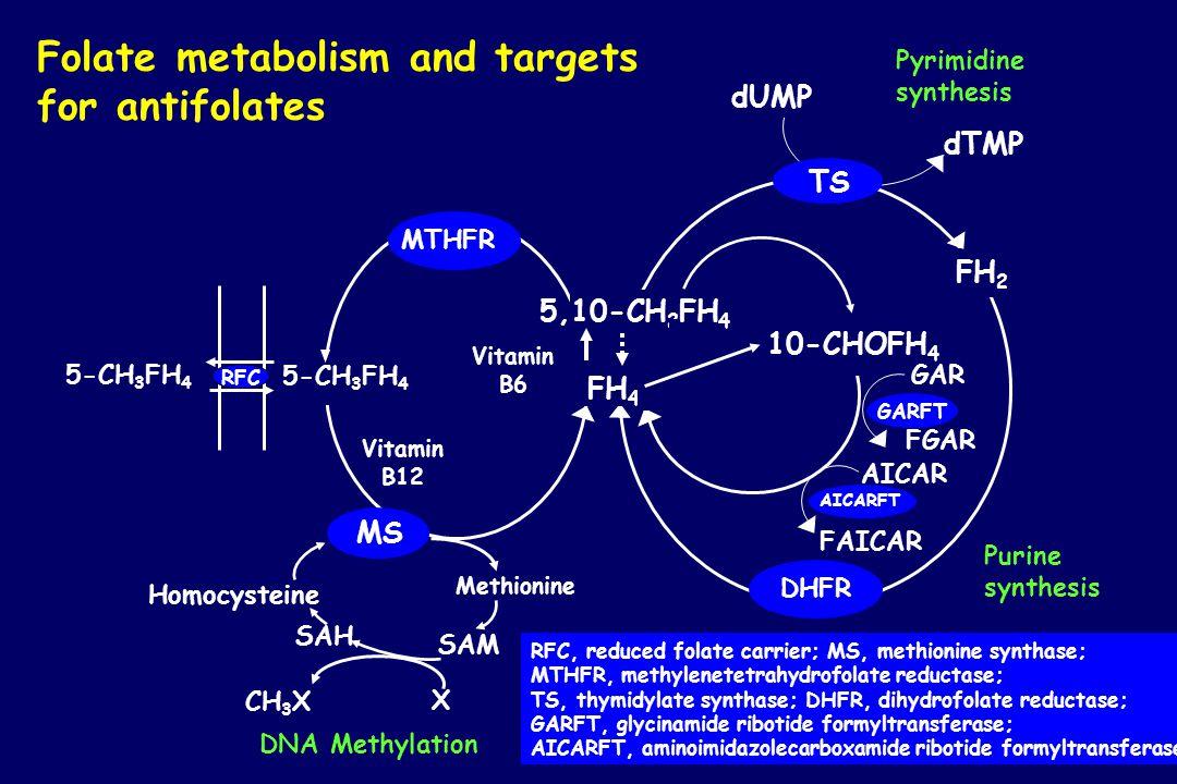 Folate metabolism and targets for antifolates 10-CHOFH 4 GAR FGAR AICAR FAICAR DHFR TS FH 2 dTMP dUMP Pyrimidine synthesis 5-CH 3 FH 4 SAM SAH MS MTHF