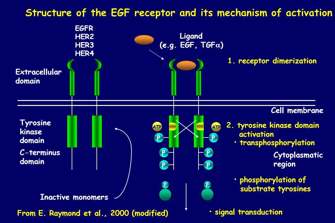 Extracellular domain Tyrosine kinase domain C-terminus domain PPPPPP ATP Cell membrane Ligand (e.g. EGF, TGF  ) 1. receptor dimerization 2. tyrosine