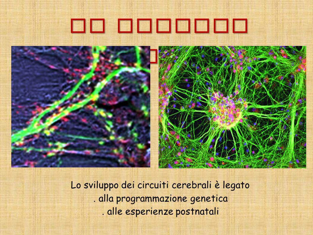 Il neurone plastico Lo sviluppo dei circuiti cerebrali è legato. alla programmazione genetica. alle esperienze postnatali