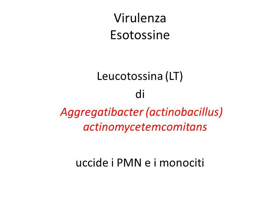 Virulenza Esotossine Leucotossina (LT) di Aggregatibacter (actinobacillus) actinomycetemcomitans uccide i PMN e i monociti