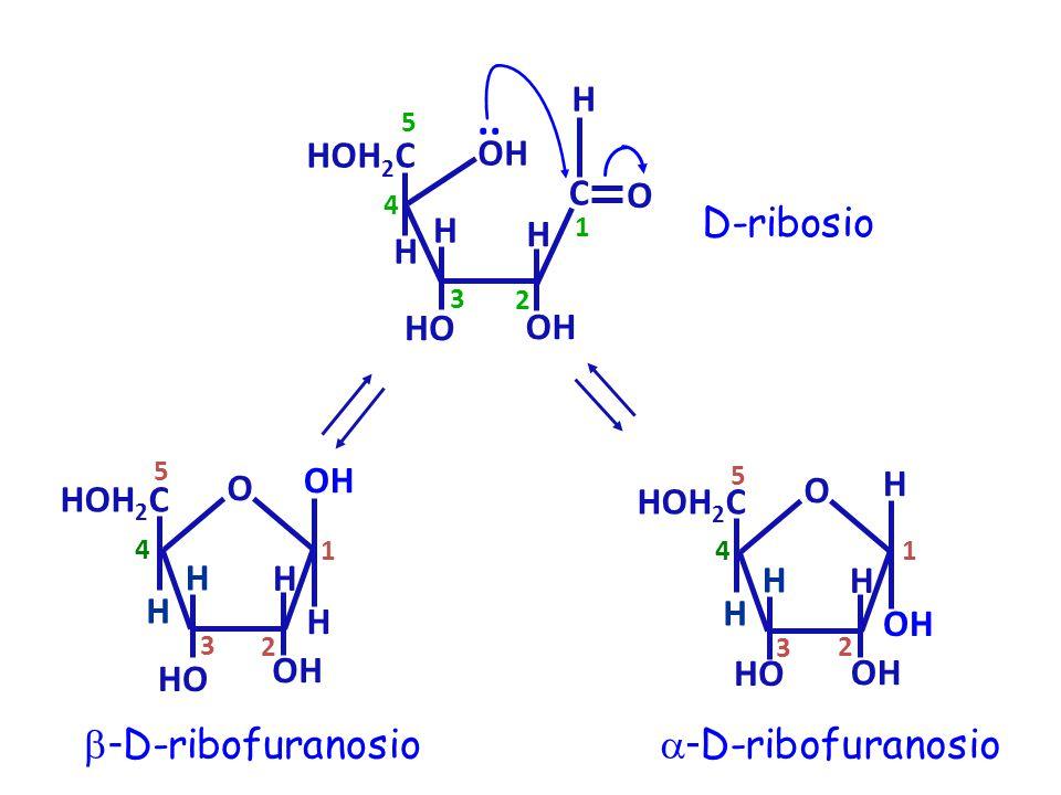 OH H HOH 2 C HO OH.. 3 4 5 H D-ribosio H H C O 1 2  - D-ribofuranosio H OH H HOH 2 C HO O 1 2 3 4 5 H H  - D-ribofuranosio H OH H HOH 2 C HO O 1 2 3