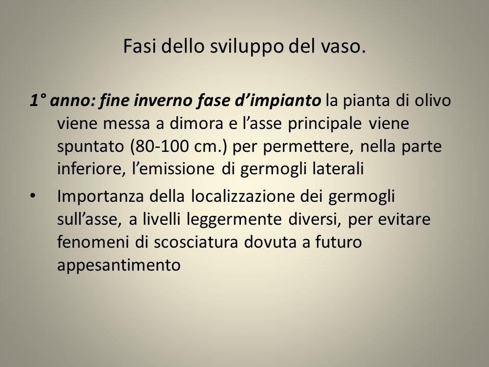 Fasi dello sviluppo del vaso. 1° anno: fine inverno fase d'impianto la pianta di olivo viene messa a dimora e l'asse principale viene spuntato (80-100