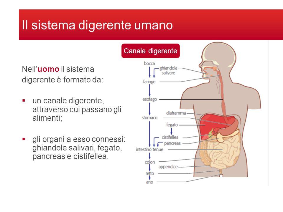 Il sistema digerente umano Nell'uomo il sistema digerente è formato da:  un canale digerente, attraverso cui passano gli alimenti;  gli organi a esso connessi: ghiandole salivari, fegato, pancreas e cistifellea.