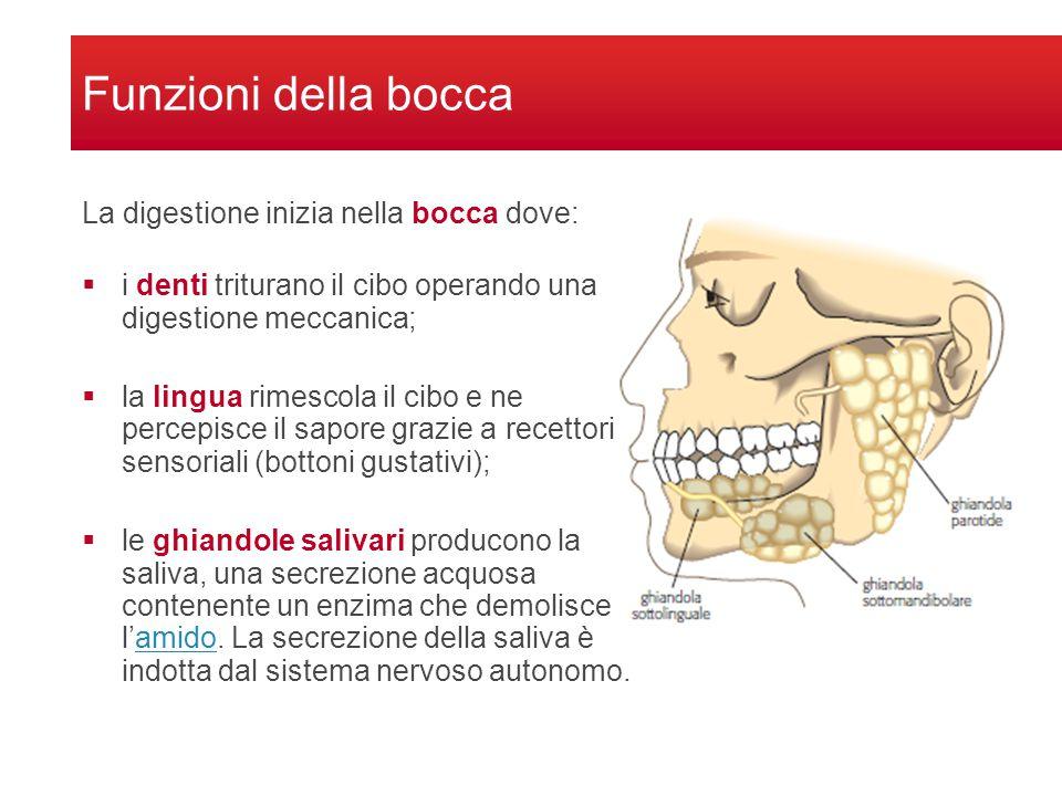 Funzioni della bocca  i denti triturano il cibo operando una digestione meccanica;  la lingua rimescola il cibo e ne percepisce il sapore grazie a recettori sensoriali (bottoni gustativi);  le ghiandole salivari producono la saliva, una secrezione acquosa contenente un enzima che demolisce l'amido.