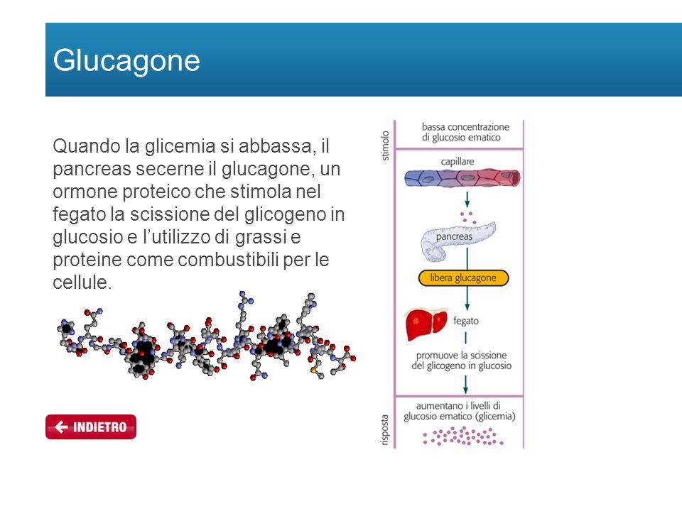 Glucagone Quando la glicemia si abbassa, il pancreas secerne il glucagone, un ormone proteico che stimola nel fegato la scissione del glicogeno in glucosio e l'utilizzo di grassi e proteine come combustibili per le cellule.