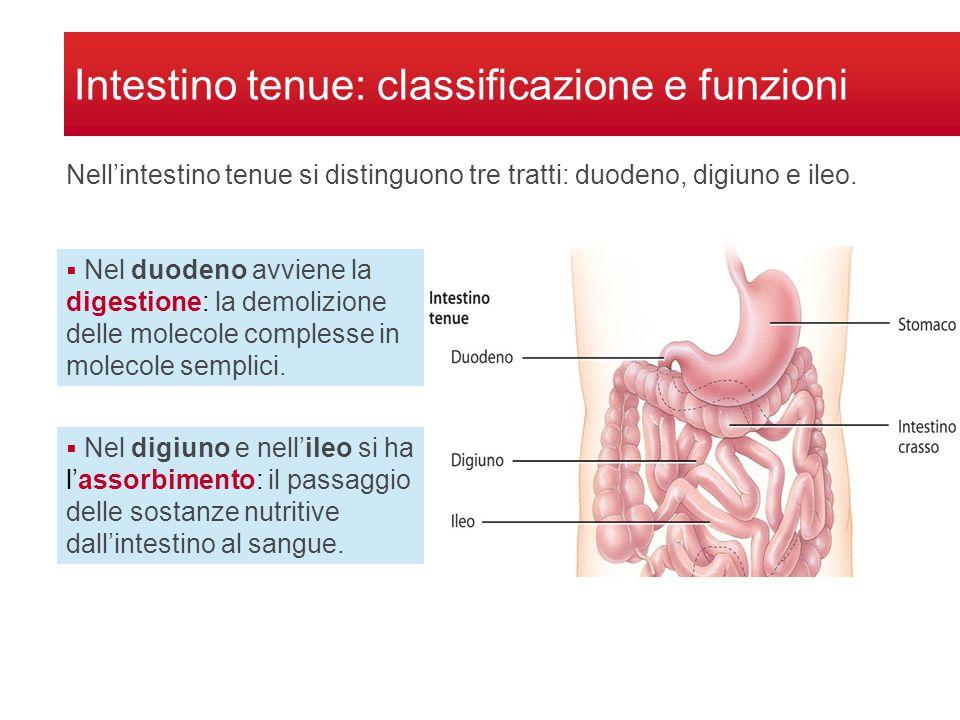 Intestino tenue: classificazione e funzioni Nell'intestino tenue si distinguono tre tratti: duodeno, digiuno e ileo.  Nel duodeno avviene la digestio