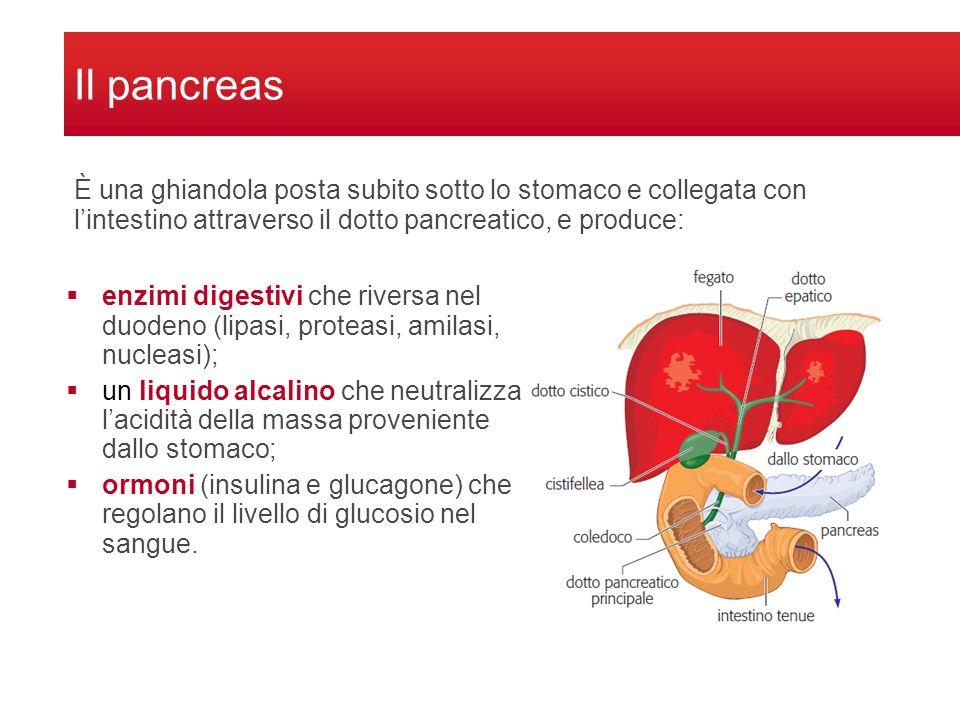 Il pancreas  enzimi digestivi che riversa nel duodeno (lipasi, proteasi, amilasi, nucleasi);  un liquido alcalino che neutralizza l'acidità della massa proveniente dallo stomaco;  ormoni (insulina e glucagone) che regolano il livello di glucosio nel sangue.
