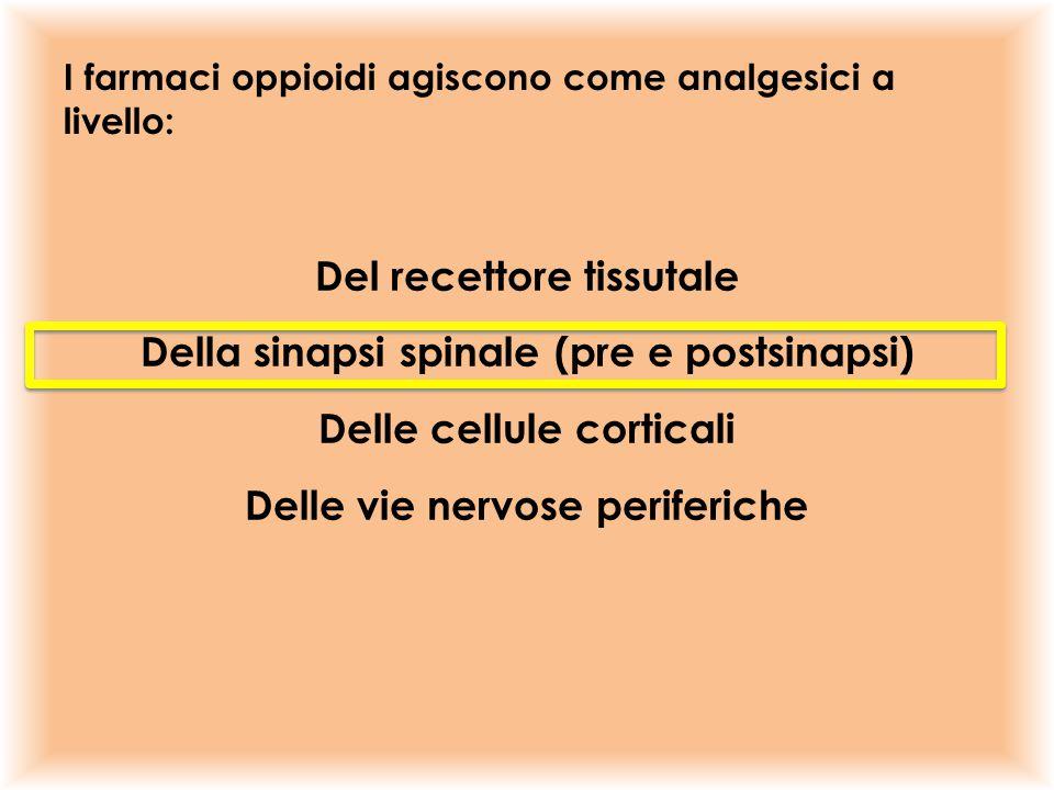I farmaci oppioidi agiscono come analgesici a livello: Del recettore tissutale Della sinapsi spinale (pre e postsinapsi) Delle cellule corticali Delle