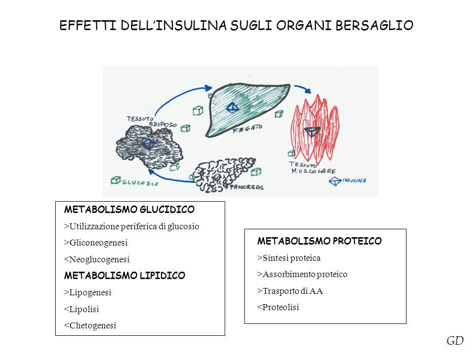 EFFETTI DELL'INSULINA SUGLI ORGANI BERSAGLIO METABOLISMO GLUCIDICO >Utilizzazione periferica di glucosio >Gliconeogenesi <Neoglucogenesi METABOLISMO LIPIDICO >Lipogenesi <Lipolisi <Chetogenesi METABOLISMO PROTEICO >Sintesi proteica >Assorbimento proteico >Trasporto di AA <Proteolisi GD