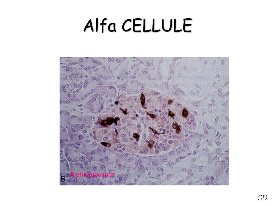 AZIONE INSULINICA SUL TESSUTO EPATICO NEL TESSUTO EPATICO L'INSULINA ESPLICA PRINCIPALMENTE UN'AZIONE SUL TURNOVER DEL GLICOGENO - L INSULINA FAVORISCE LA SINTESI DEL GLICOGENO EPATICO PARTENDO DAL GLUCOSIO (ESOCHINASI E GLICOGENOSINTETASI) - BLOCCO DELLA GLICOGENOLISI (=/= G- 6- FOSFATASI) - EFFETTO ANTAGONISTA AL CORTISOLO ED AGLI STEROIDI GLICOATTIVI - PROMUOVE LA GLICOLISI CON ATTIVAZIONE DI ENZIMI ( PIRUVATOCHINASI) - INIBISCE LA GLUCONEOGENESI GD