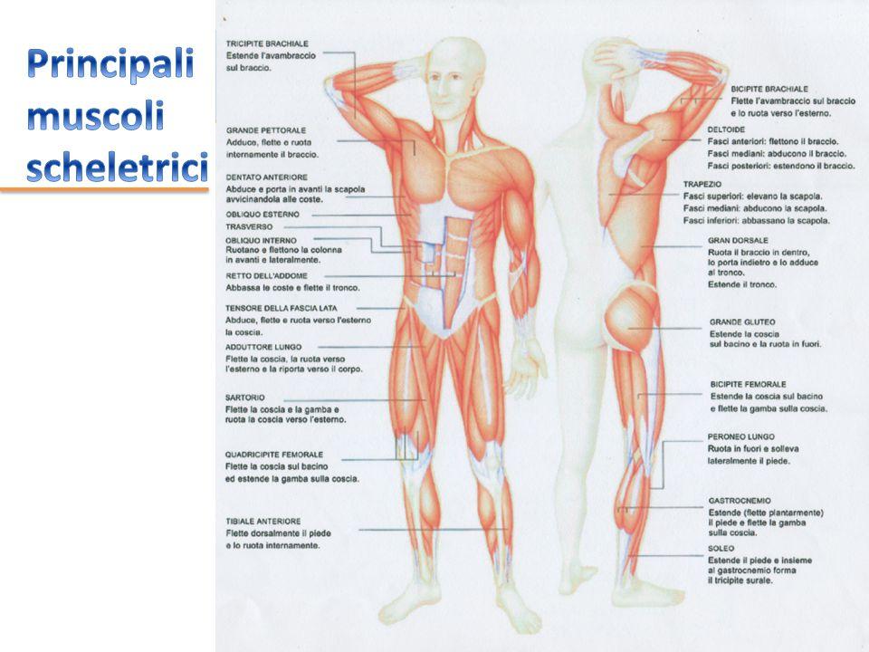 Fibre muscolari (sono cellule raccolte in fasci) rivestite da tessuto connettivo che alle estremità si fonde e forma il tendine