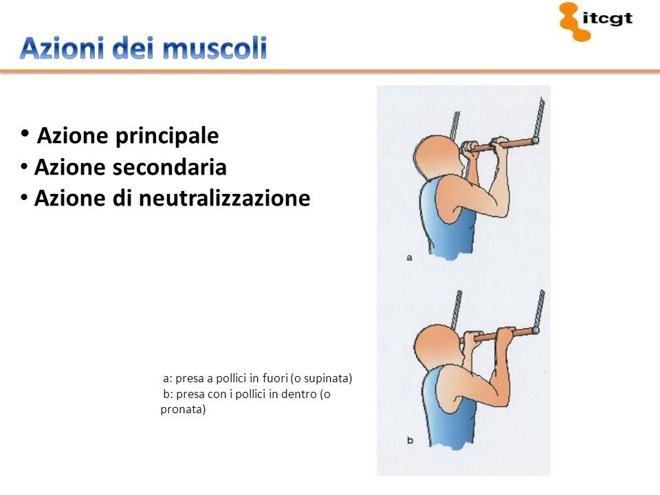 Membrana cellulare (sarcolemma) Liquido cellulare (sarcoplasma) Filamenti proteici (miofibrille): actina e miosina Unità funzionale del muscolo scheletrico: sarcomero