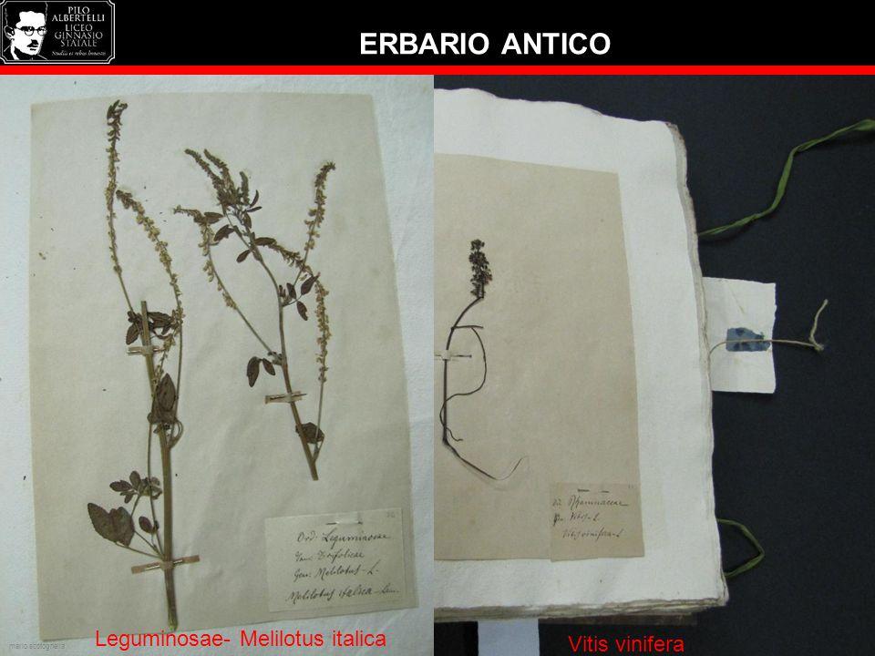 ERBARIO ANTICO Ilese aquifolium Vitis vinifera Leguminosae- Melilotus italica mario scotognella