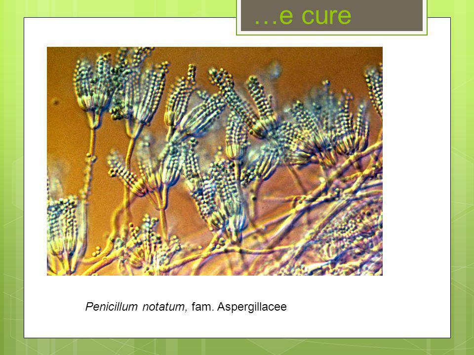 …e cure Penicillum notatum, fam. Aspergillacee