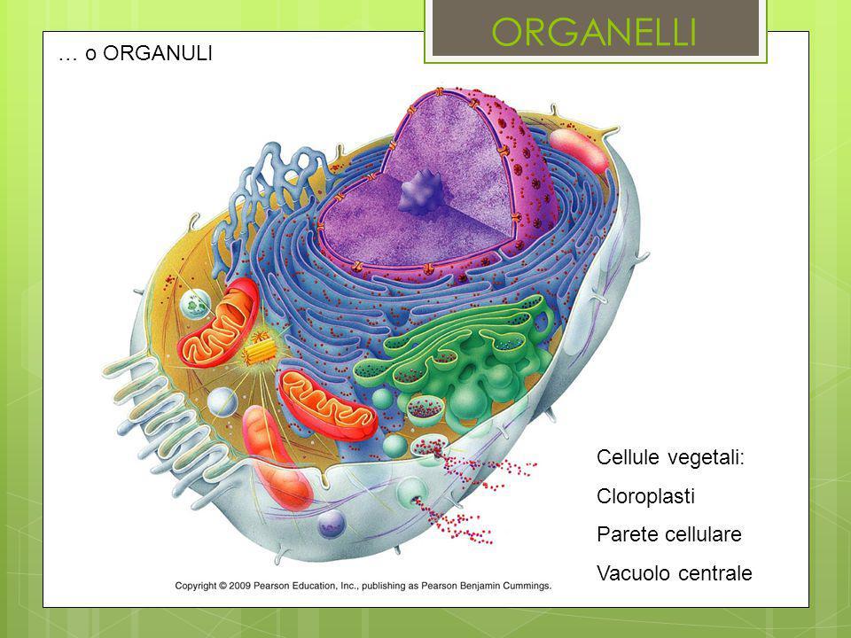 … o ORGANULI Cellule vegetali: Cloroplasti Parete cellulare Vacuolo centrale