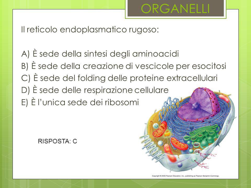 ORGANELLI Il reticolo endoplasmatico rugoso: A) È sede della sintesi degli aminoacidi B) È sede della creazione di vescicole per esocitosi C) È sede d