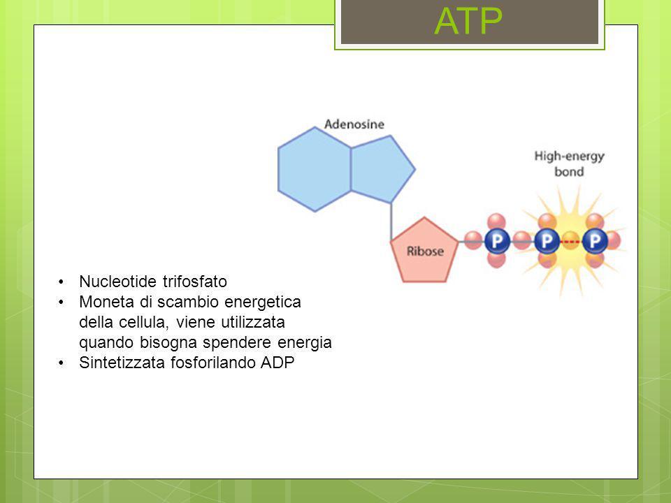 ATP Nucleotide trifosfato Moneta di scambio energetica della cellula, viene utilizzata quando bisogna spendere energia Sintetizzata fosforilando ADP