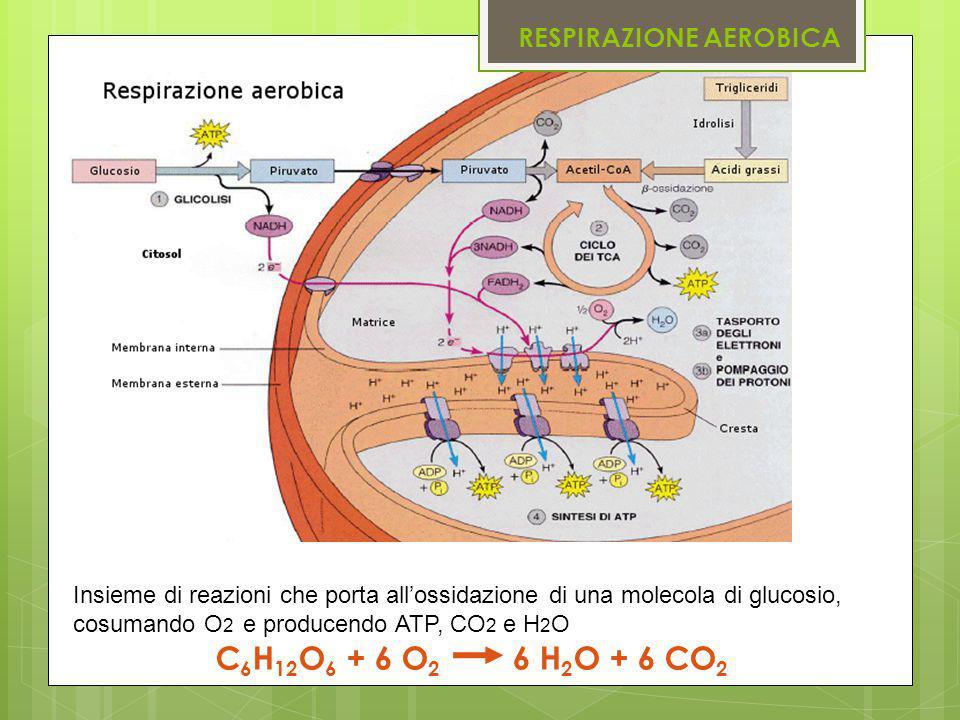 RESPIRAZIONE AEROBICA Insieme di reazioni che porta all'ossidazione di una molecola di glucosio, cosumando O 2 e producendo ATP, CO 2 e H 2 O C 6 H 12