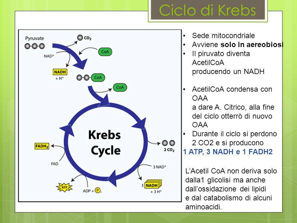 Ciclo di Krebs Sede mitocondriale Avviene solo in aereobiosi Il piruvato diventa AcetilCoA producendo un NADH AcetilCoA condensa con OAA a dare A. Cit