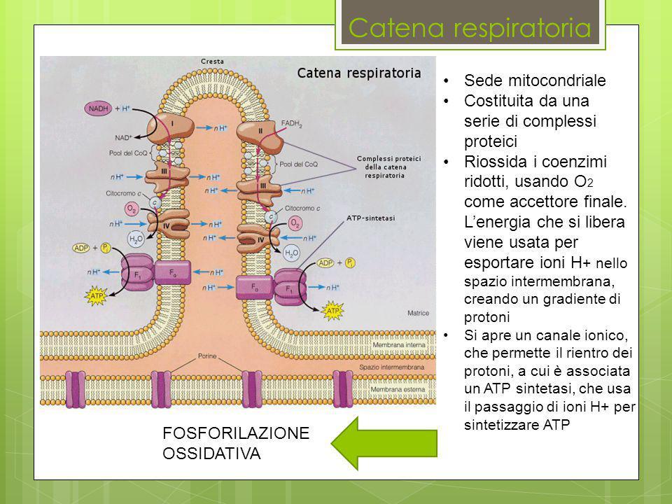 Catena respiratoria Sede mitocondriale Costituita da una serie di complessi proteici Riossida i coenzimi ridotti, usando O 2 come accettore finale. L'
