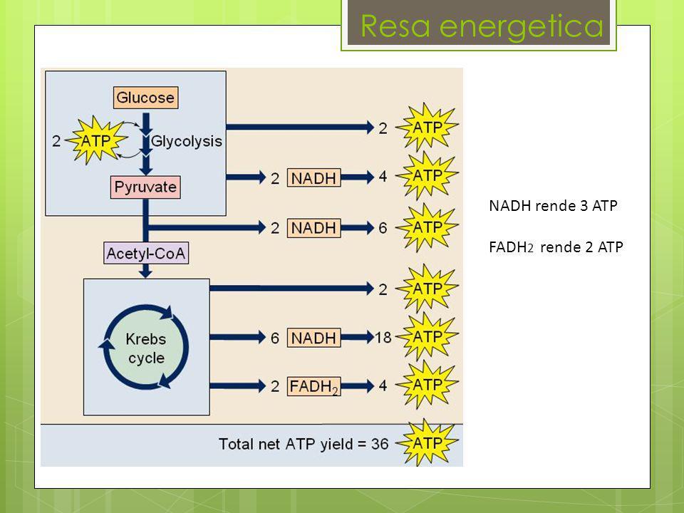 Resa energetica NADH rende 3 ATP FADH 2 rende 2 ATP