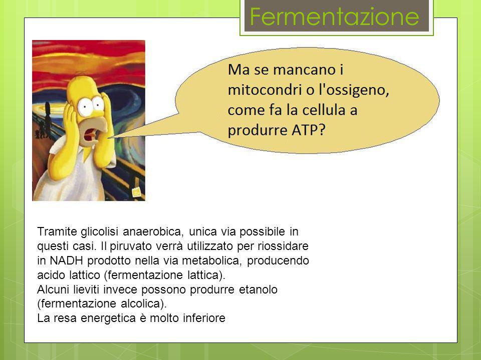 Fermentazione Tramite glicolisi anaerobica, unica via possibile in questi casi. Il piruvato verrà utilizzato per riossidare in NADH prodotto nella via