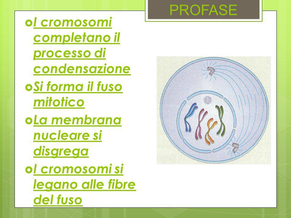 PROFASE  I cromosomi completano il processo di condensazione  Si forma il fuso mitotico  La membrana nucleare si disgrega  I cromosomi si legano a