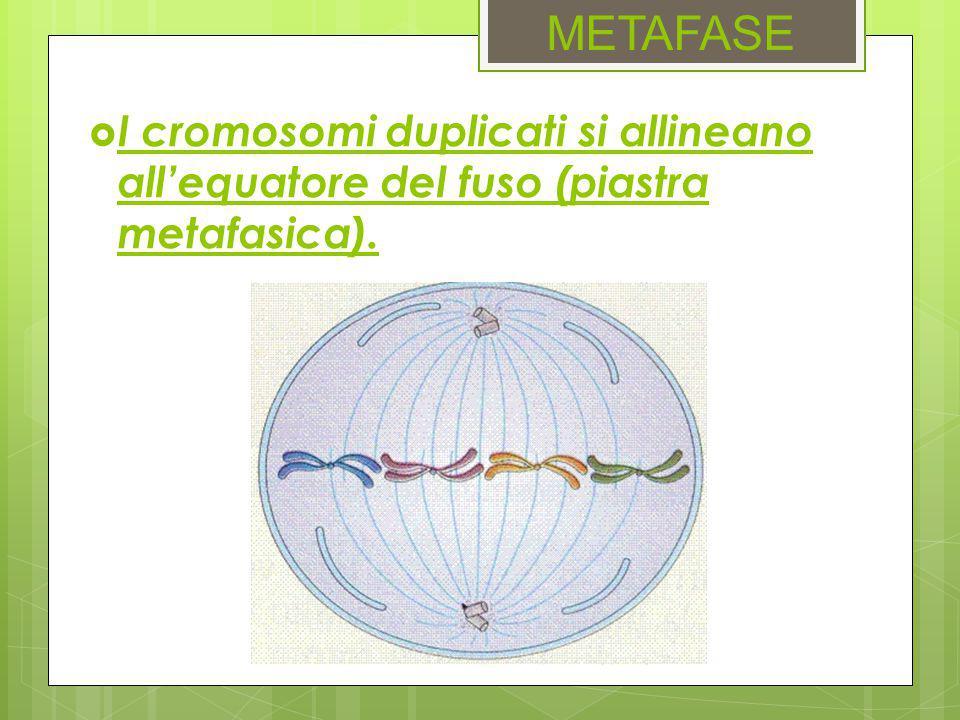 METAFASE  I cromosomi duplicati si allineano all'equatore del fuso (piastra metafasica).