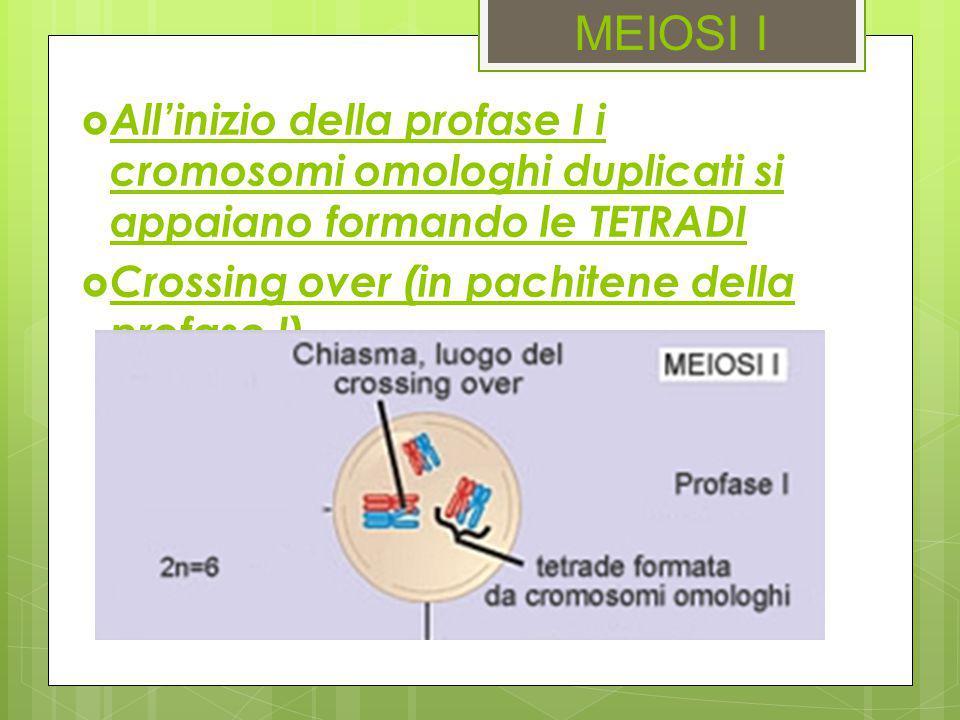 MEIOSI I  All'inizio della profase I i cromosomi omologhi duplicati si appaiano formando le TETRADI  Crossing over (in pachitene della profase I)