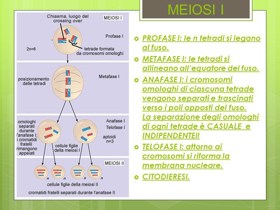 MEIOSI I  PROFASE I: le n tetradi si legano al fuso.  METAFASE I: le tetradi si allineano all'equatore del fuso.  ANAFASE I: i cromosomi omologhi d