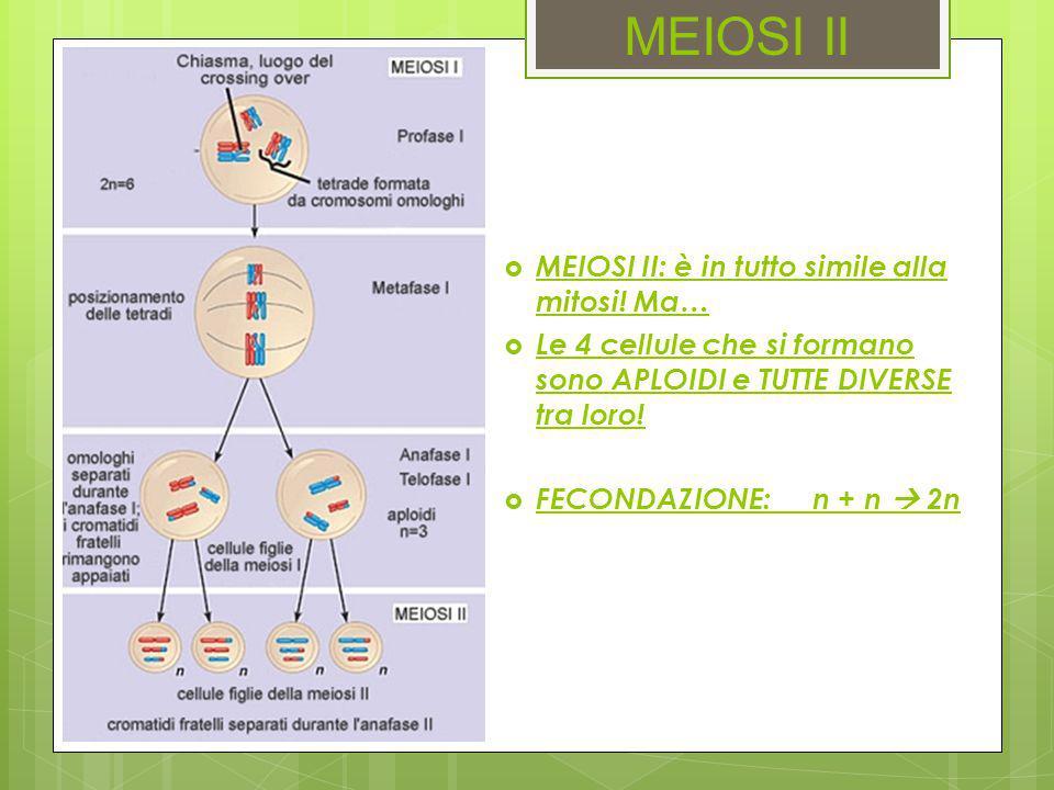 MEIOSI II  MEIOSI II: è in tutto simile alla mitosi! Ma…  Le 4 cellule che si formano sono APLOIDI e TUTTE DIVERSE tra loro!  FECONDAZIONE:n + n 