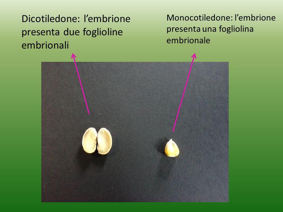 Le piante che nasceranno sono ANGIOSPERME perché sono originate da un seme che può essere monocotiledone o dicotiledone. Osserviamo due dei nostri sem
