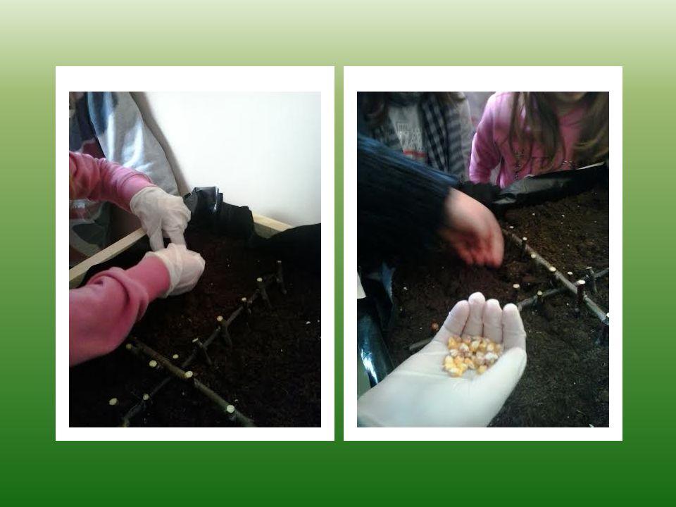 Delimitiamo con staccionate fatte con piccoli pezzi di rami secchi le diverse piantagioni. Il nostro orto è pronto per la …. SEMINA!
